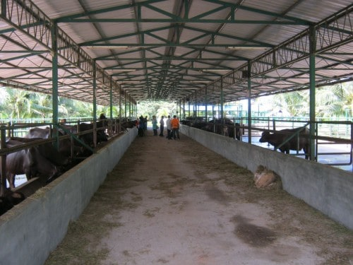 Langkawi Buffalo Park