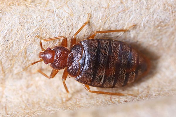Bed Bugs, The Gift that Keeps on Giving