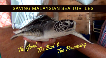 Saving Malaysian Sea Turtles; the Good, the Bad & the Promising