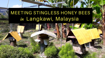 Meeting Stingless Honey Bees in Langkawi, Malaysia